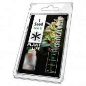 Plant of Life Critical Kush Feminized - 1 Σπόρος